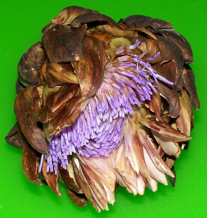 flowering-artichoke.JPG