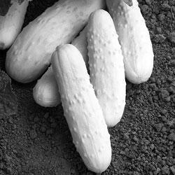 cucumber-pearl.jpg