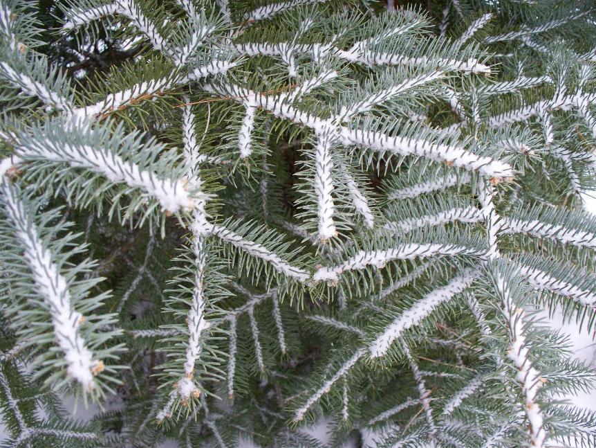 spruce.JPG