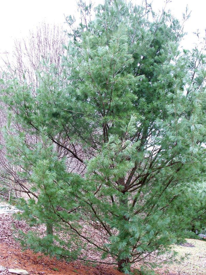 ds-pine-and-bradford-2-3-8.JPG