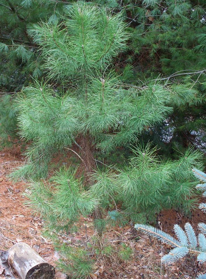 italian-pine-2-3-8.JPG