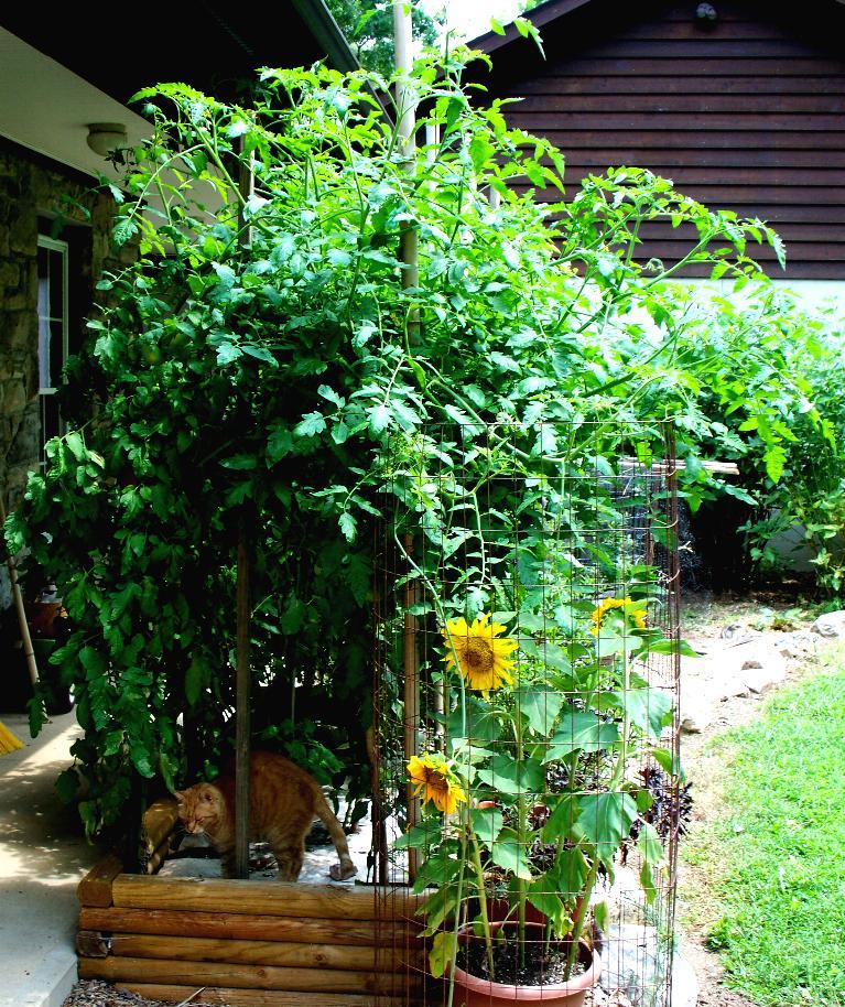 Backdoor sunflowers