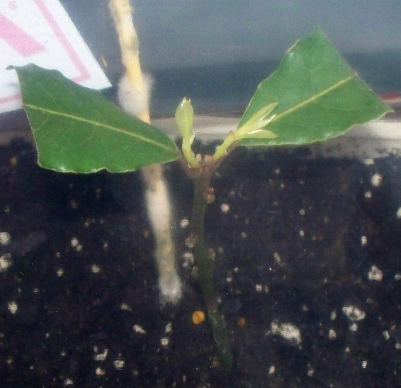 Bayleaf growth