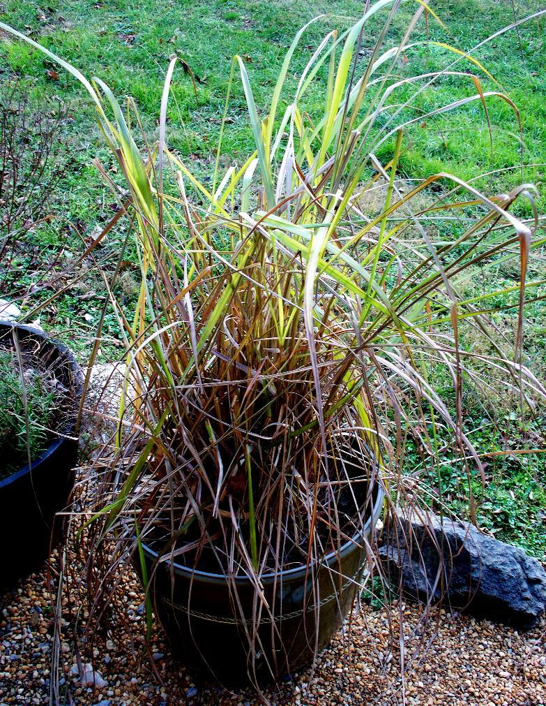 Lemon grass 009