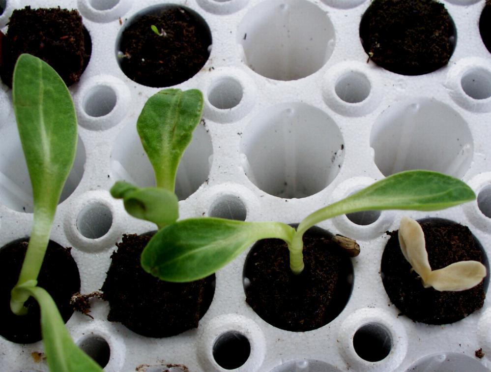 albino-artichoke