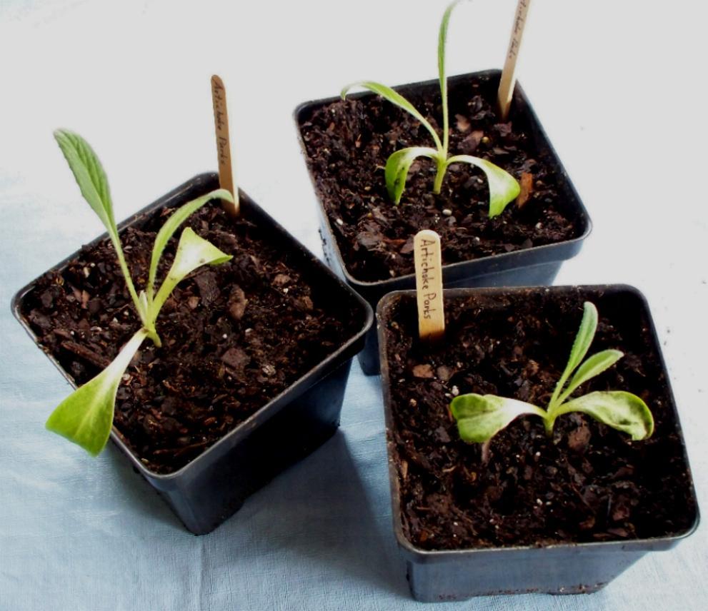 artichoke-sprouts-2-28