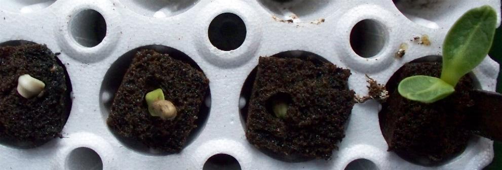 artichoke-sprouts-2-6