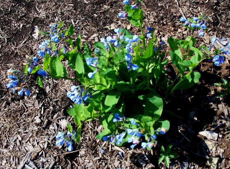 bluebells 2-26-14