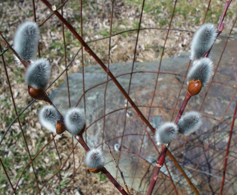 catkins in spring of 2015