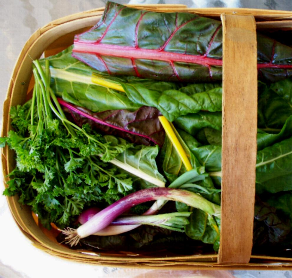 Chard Manicotti. The rainbow chard looks pretty growing, cut and even ...