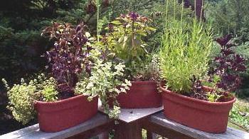 herbs-on-railing.JPG