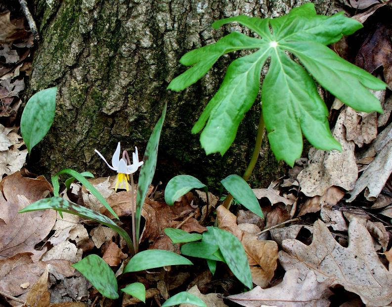 lily-and-mayapple2