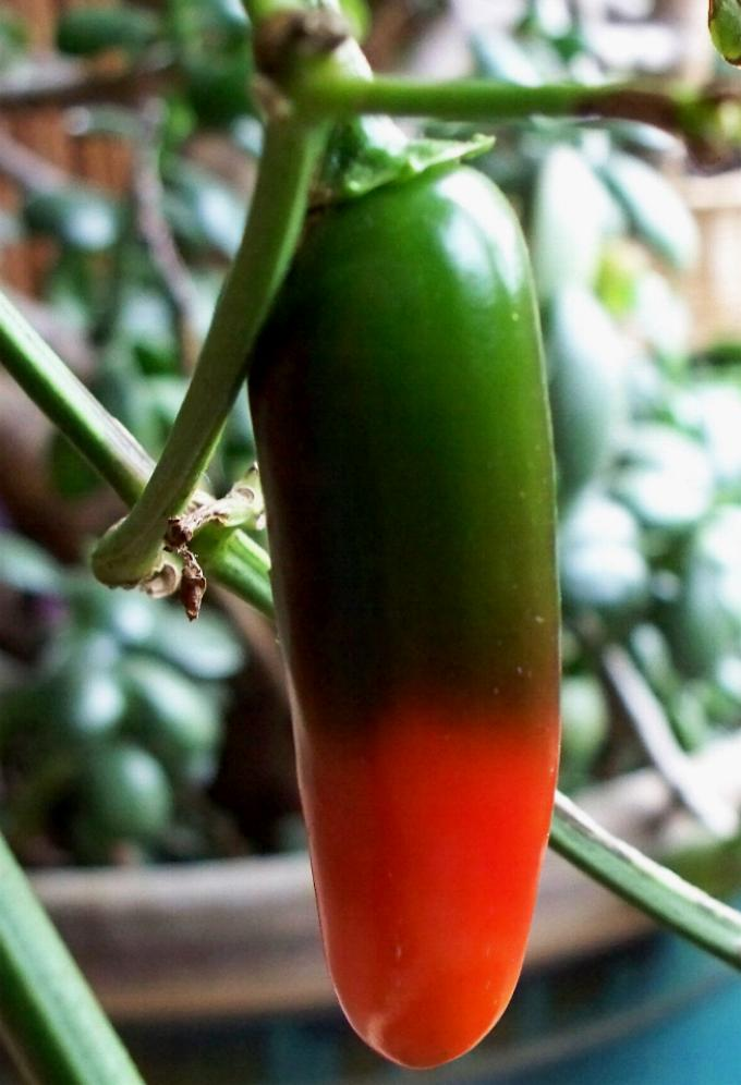 orange-green-jalapeno