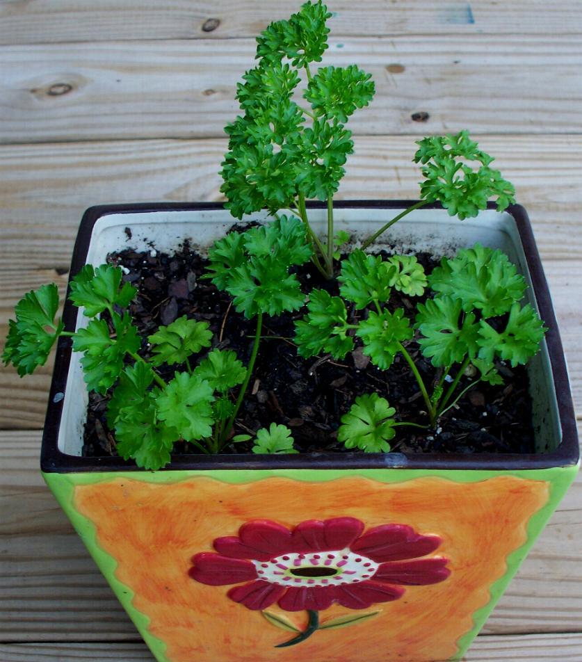 parsley-7-18