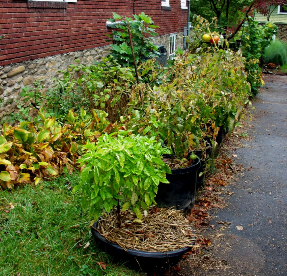 Landscaping The Side Of My House : Red pepper plant viewing gallery