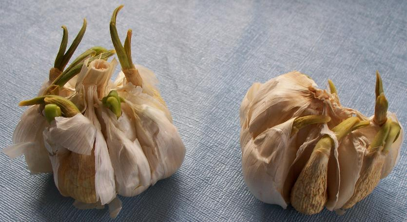 sprouting-garlic.JPG